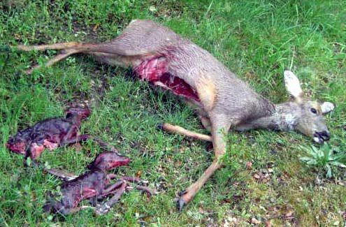 autoriza-caza-hembras-ciervo-cervus-elaphus-p-l-pkzgkf